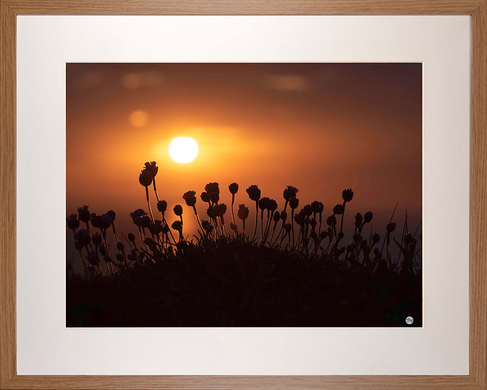 Wood Framed Picture - 400 x 500mm - Budding Sea Thrift in Evening Sunlight