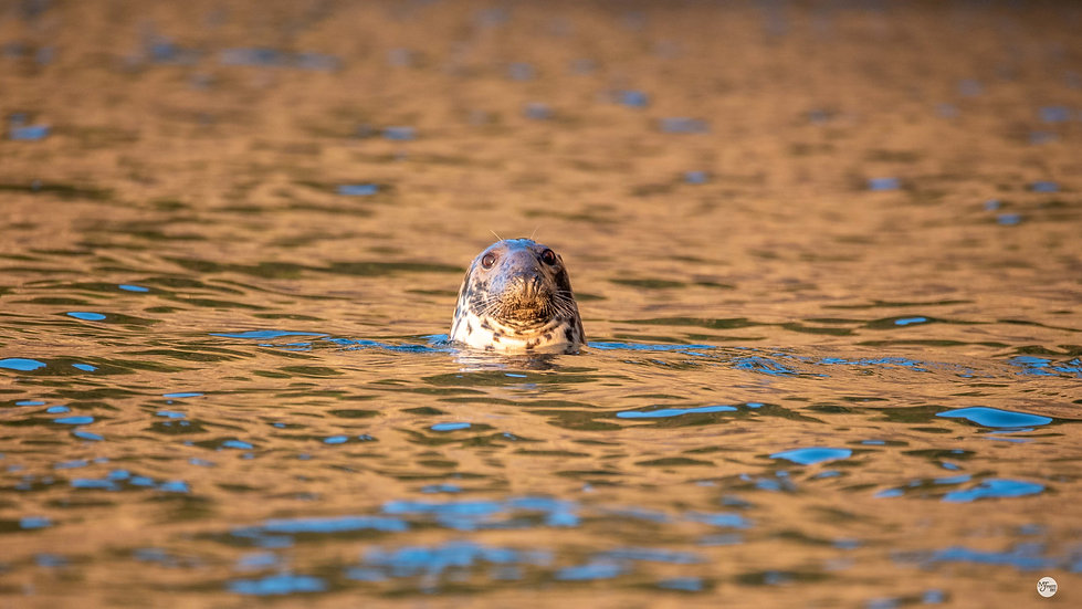 Sunset-lit Seal