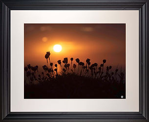 Sea Thrift on Coast Path at Sunset with