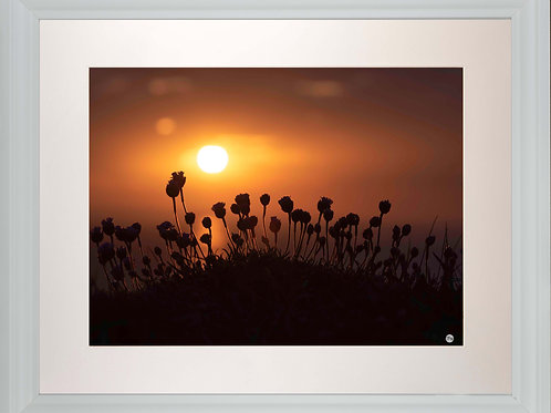 White Framed Picture - 400 x 500mm - Budding Sea Thrift in Evening Sunlight