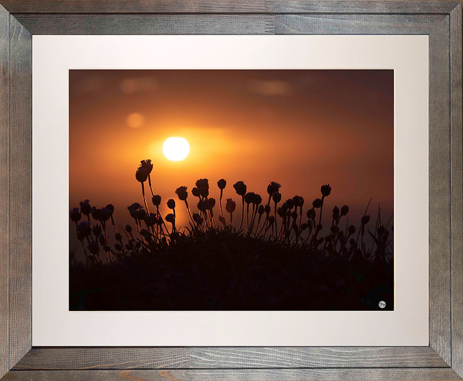 Rustic Wood Framed Picture - 400 x 500mm - Budding Sea Thrift in Evening Sun