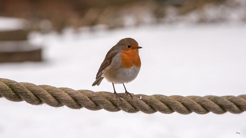 Snowy Watersmeet Robin