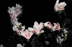 Night Blooms II