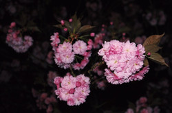 Night Blooms I