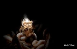 Xenia Soft Coral Shrimp (2)