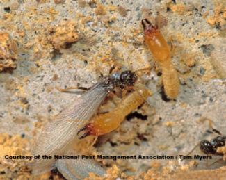 45_termite__e._subterranean_termite___47