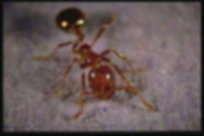 fire ant for website.jpg