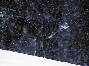 ulv vinter 2.jpg