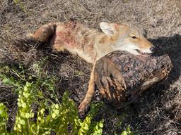 Coyote Alberta 21.jpg