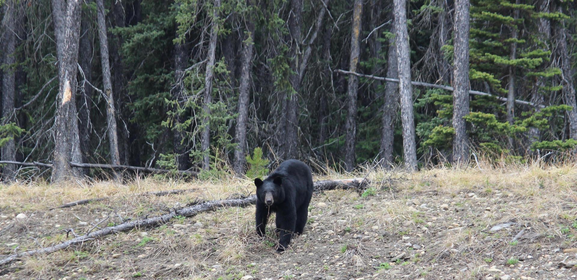 Rocky-M-bjørn-2.jpg