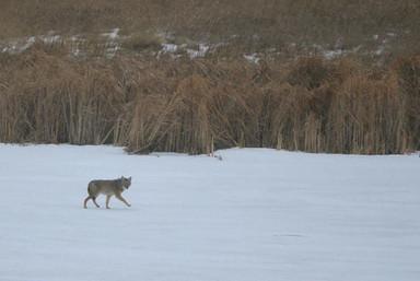 ulv vinter 1.jpg