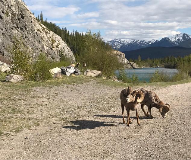 Rocky Mountain Jasper
