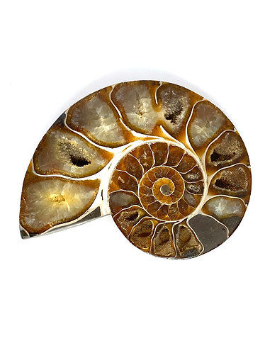 Medium Polished Cleoniceras Ammonite