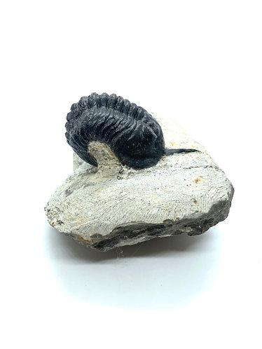 Morocconites Trilobite
