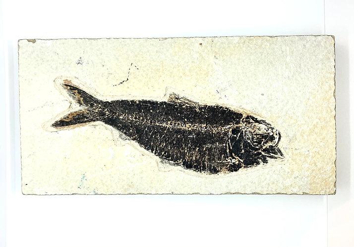 Large Fossilized Knightia Fish