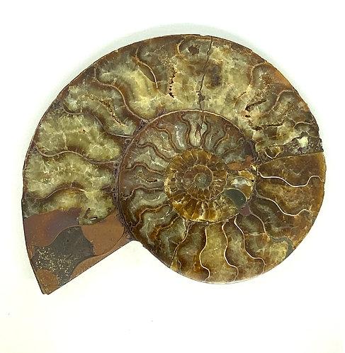 Large Polished Cleoniceras Ammonite