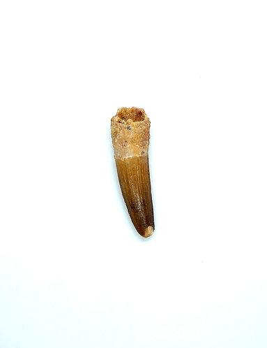 Medium Spinosaurus Tooth
