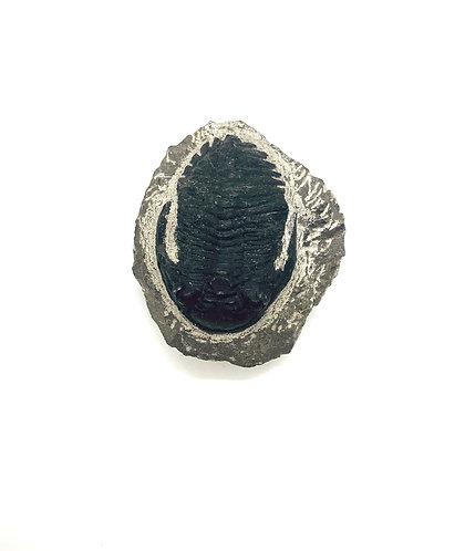Hollardops Trilobite