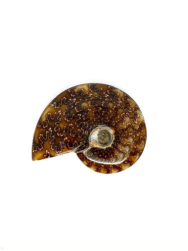 Cleoniceras Ammonite