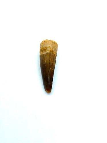 Small Spinosaurus Tooth