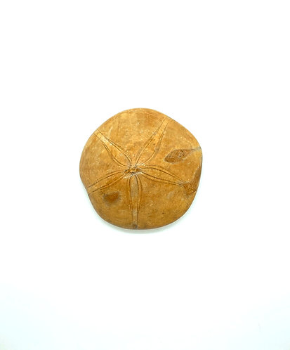 Fossilized Sea Urchin