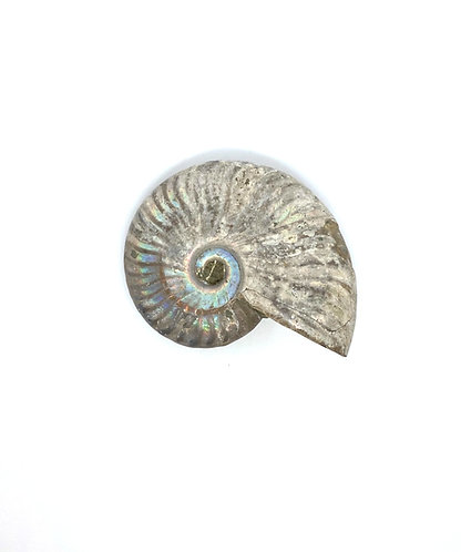 Medium Cleoniceras Ammonite with Mother of Pearl