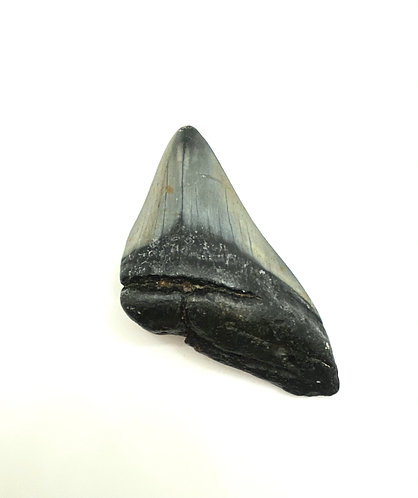 Partial Megalodon Tooth