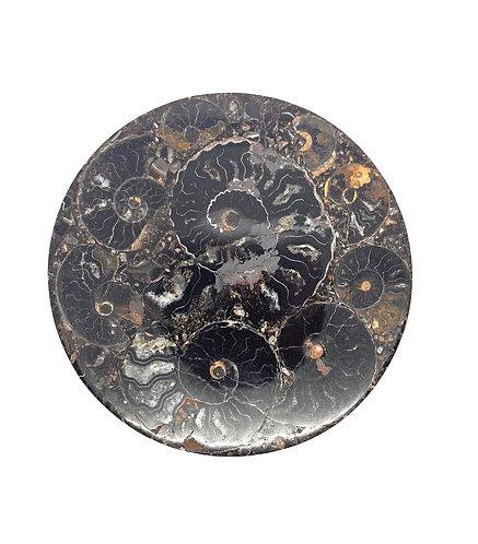 Small Polished Cleoniceras Ammonite Slab