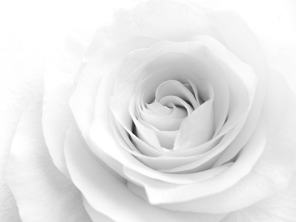Beautiful soft white rose flower .jpg