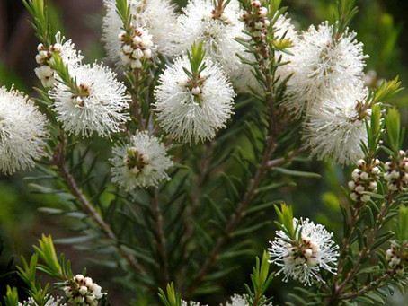 Great uses for Melaleuca aka as Tea Tree Oil
