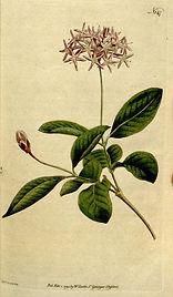melaleucaalternifolia.jpg
