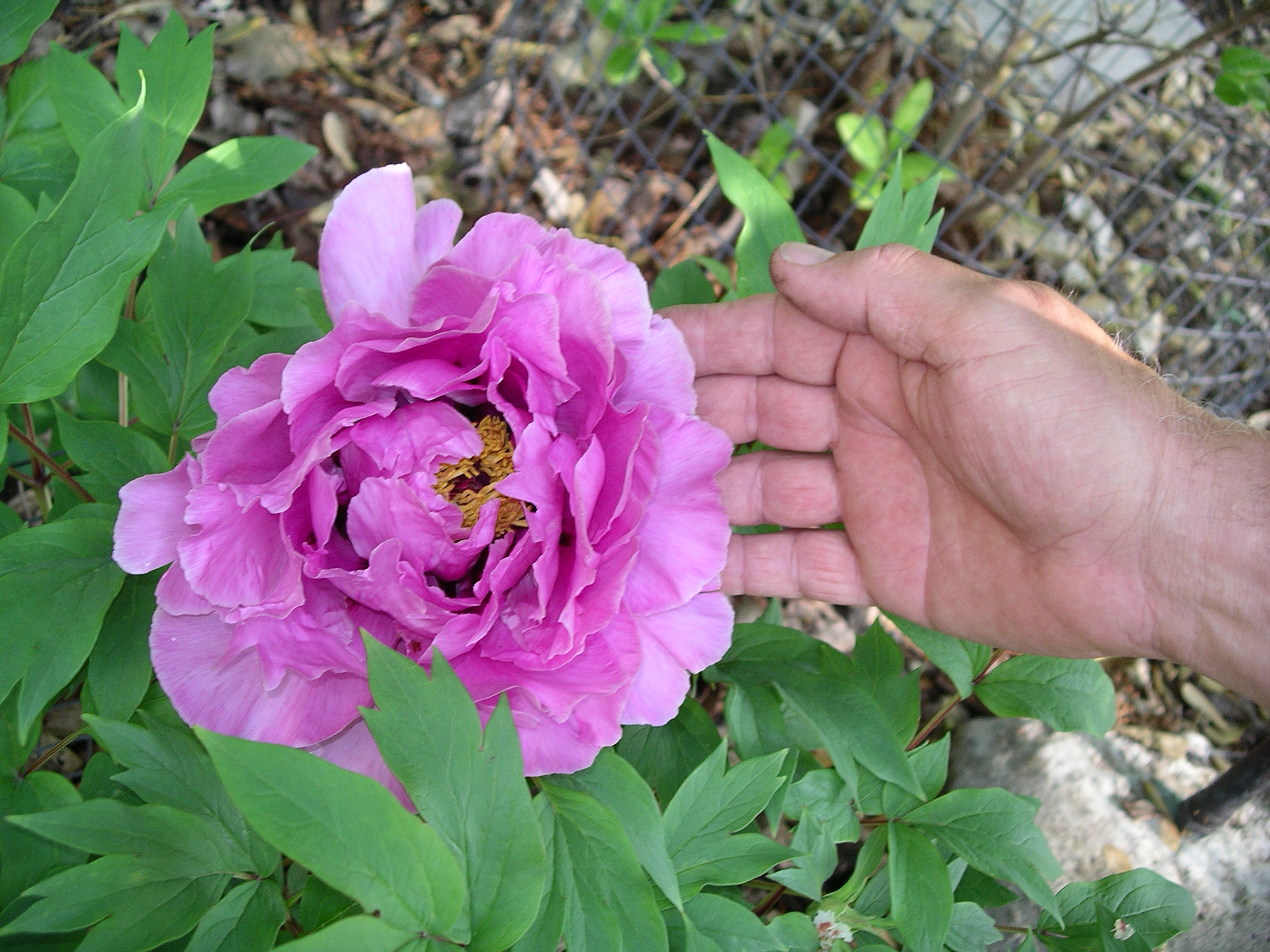 052804+flower+3+tree+peony.jpg.JPG