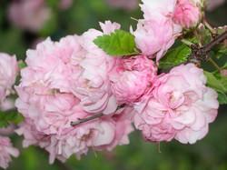 050104+rose+tree+3.jpg.JPG