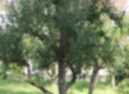 BaumCIMG9324.jpg