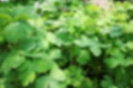 長命草(ボタンボウフウ・サクナ)の群生