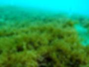 海中のモズク(フコイダン)