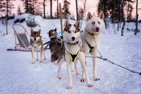Chiens de Traineaux - Laponie