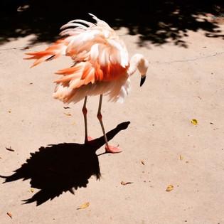 Floyd - Chilean Flamingo.jpg