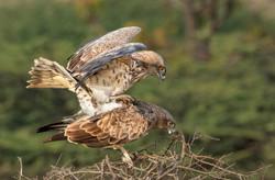 SNAKE EAGLE MATING.jpg
