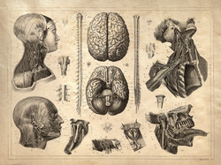 vintage anatomy drawing