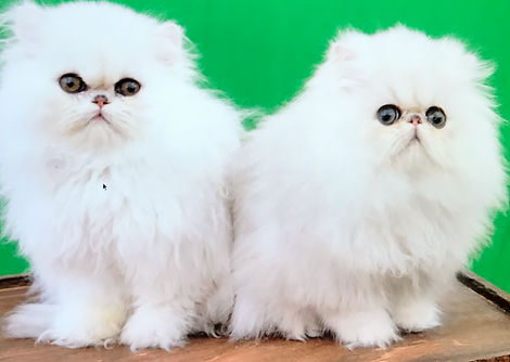chinchilla kittens, shaded silver kittens
