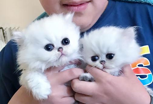 chinchillakittens