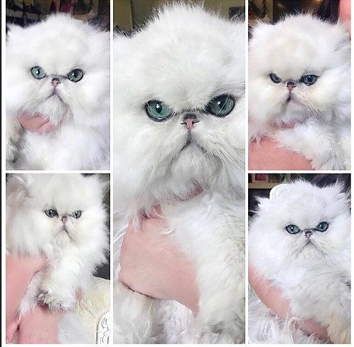 Ultamint Illuminations has stunning chinchilla kittens now available