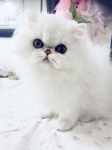 Chinchilla Persians, Shaded Silver Persian