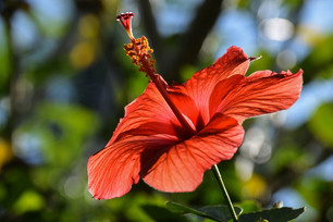 Hibiscus: what are the health benefits?