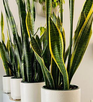 Snake Plants.jpg