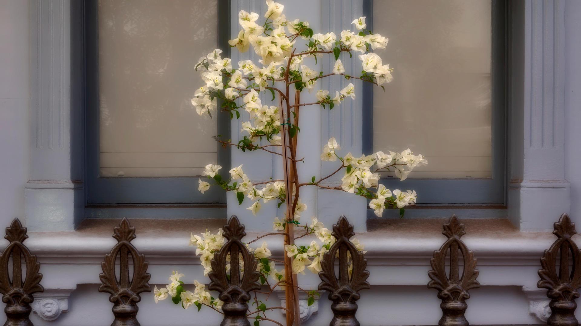 Don_07M3_White_Blooms