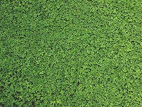 micro clover.jpg