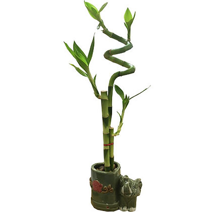 Small Fortune Bamboo