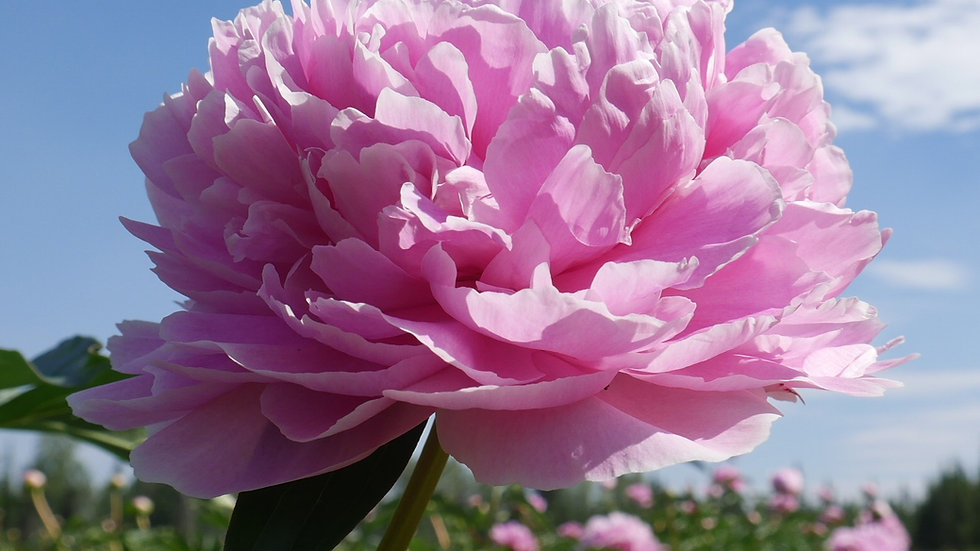 Pink Sarah Bernhardt Peony Side View